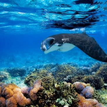 Red Whale Dive Center - manta-ray-komodo-island