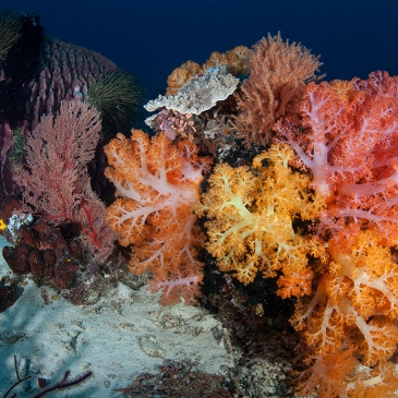 Red Whale Dive Center - Vibrant soft corals grow on a deep coral reef near the island of Komodo