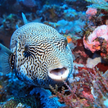 Red Whale Dive Center - Map Puffer Fish on Komodo Island