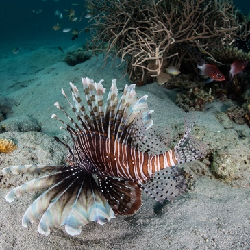 Red Whale Dive Center - Lionfish Hunting for Small Fish