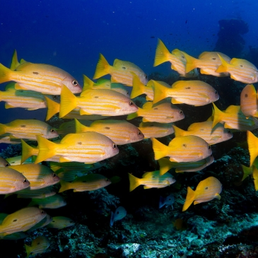 Red Whale Dive Center - Group of Yellow Snappers